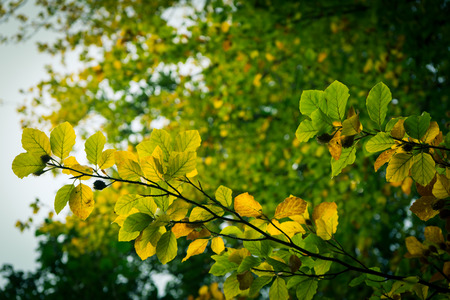 Leaves in trees during early autumn Stock Photo