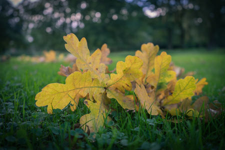 fallen tree: Newly fallen yellow leaves laying on the grass during autumn