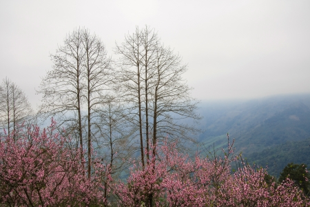 Peach Blossom in Yuanyang district, Yunnan province, China photo
