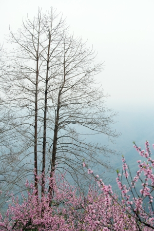Peach Blossom in Yuanyang district, Yunnan province, China photo