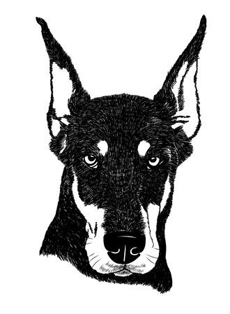 pinscher: doberman pinscher dog portrait illustration in engraving style Illustration