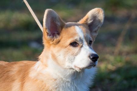 foxy: A short foxy dog on the walk. Photo of a cute animal Stock Photo