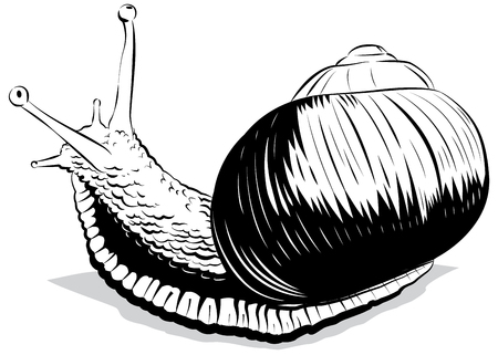 Vector illustration snail