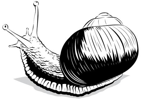 gastropod: Vector illustration snail