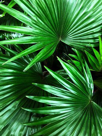 Beau fond de feuilles de palmier vert.