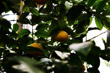 Mandarine tree with ripe fruits.