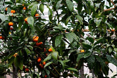 Mandarine tree with ripe fruits in botanical garden. Stok Fotoğraf