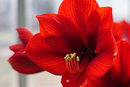 Beautiful hippeastrum red velvet flower. Royal Velvet.