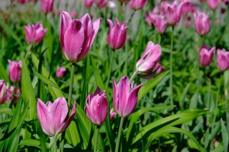 Multiple tulips on garden