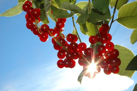 cherry tree: Brushes of a bird cherry against the blue sky. Sun beams go through berries Stock Photo