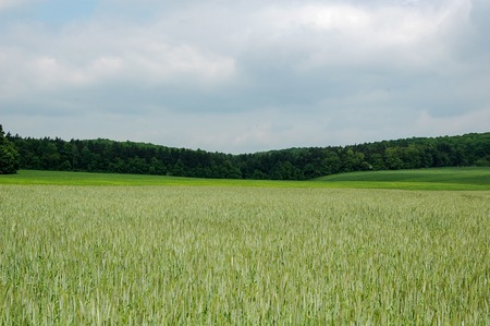 secale: Rye field forest sky Stock Photo