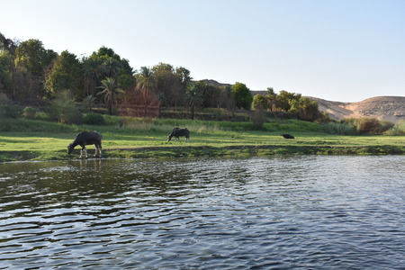 Cows on Nile river 스톡 콘텐츠