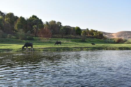 Cows on Nile river Reklamní fotografie