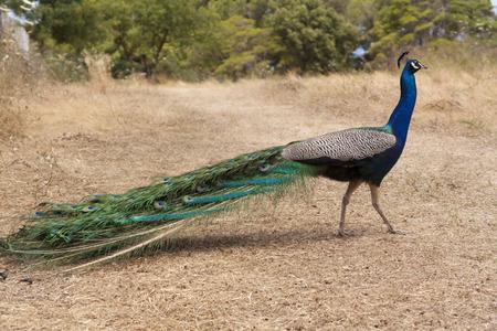 indian peafowl: Peacock bird photo