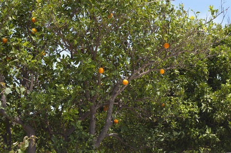 Orange orchard branches with fruits of tangerine trees photo. photo