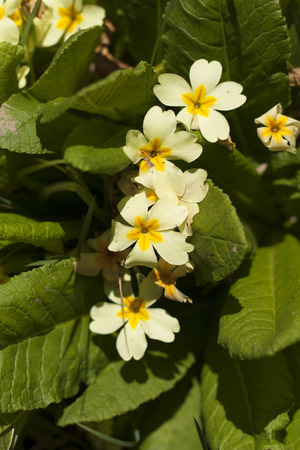 Primrose Primula vulgaris yellow spring flower photo photo