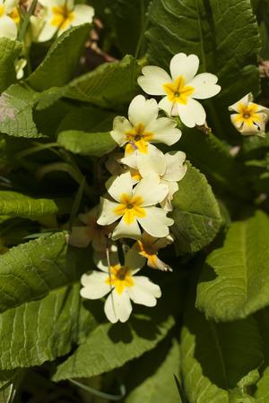 Primrose Primula vulgaris yellow spring flower photo photo