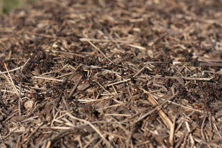 Anthill in the forest with many ants photo photo