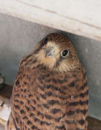 merlin falcon: Falcon bird photo texture, captive female Kestrel, Falco tinnunculus