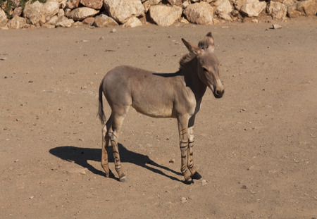 Full body view of a zonkey which is a cross between a donkey and a zebra, photo