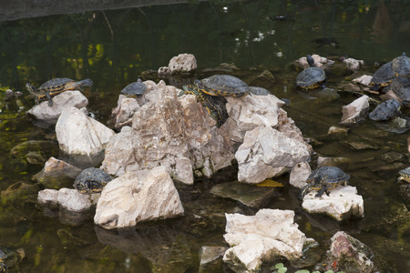 Turtles Sunning photo, basking and swimming in the sun photo