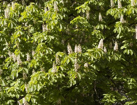 chestnut tree: Flower spring blossoming chestnut tree flowers photo Stock Photo