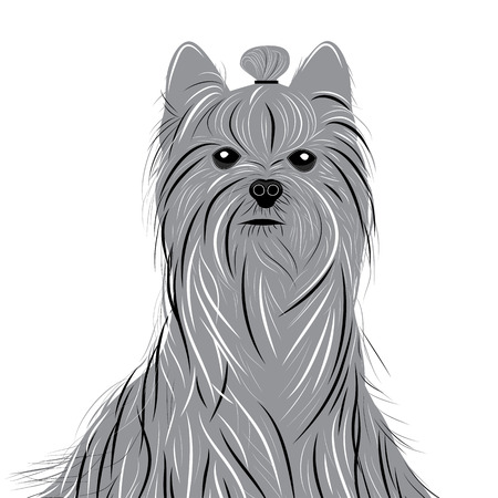 yorkshire: Dog yorkshire terrier vector portrait of a Domestic Dog. Cute animal head.
