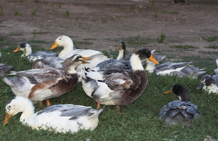 domestic duck: Birds ducks are resting on a grass photo