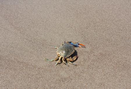 blue crab: Blue crab, Callinectes sapidus in sand photo