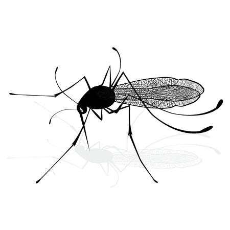 extreme close up: Insect a realistic gnat mosquito. Mosquito silhouette. Mosquito isolated on white background. Illustration