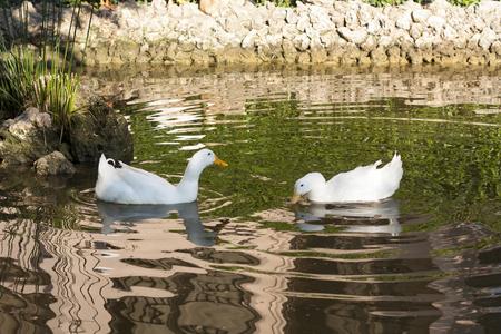 swimming bird: Romantic white ducks couple bird swimming in the lake photo