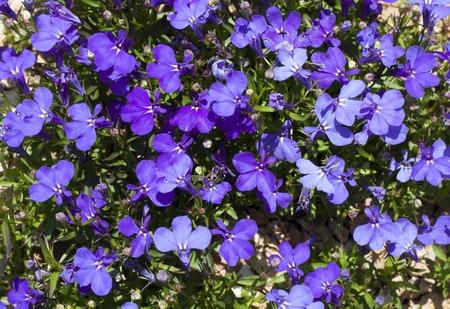Blue Trailing Lobelia Sapphire flowers or Edging Lobelia, Garden Lobelia in St. Gallen, Switzerland photo. Its Latin name is Lobelia Erinus Sapphire, native to South Africa, Malawi and Namibia.