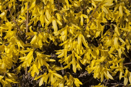 gold textured background: Yellow flowers Forsythia on the bush texture photo in spring