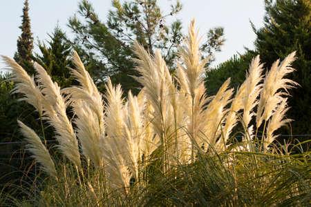 Pampas Grass Cortaderia selloana in wild nature photo