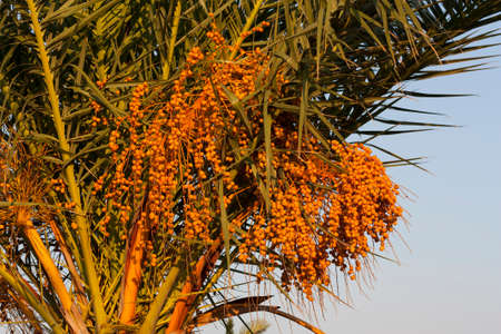 Ripe fruits of date tree hang on tree. Dates hang on tree. Tropical fruits. Close up clusters yellow ripe dates hanging on date palm. Riped date fruits clusters hanging on palm tree photo Stok Fotoğraf