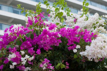 Purple white Bougainvillea Flower photo on nature background . Stok Fotoğraf
