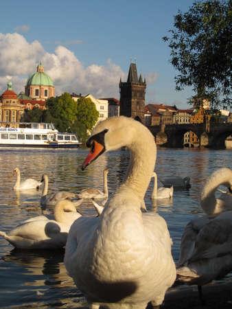 swans: plague of swans