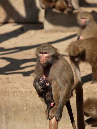 brood: Monkey female with her brood.  Zoo Madrid.  Spain.