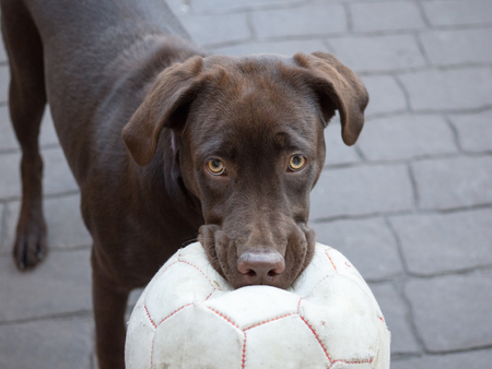 sweet treat: Chocolate Labrador with ball Stock Photo