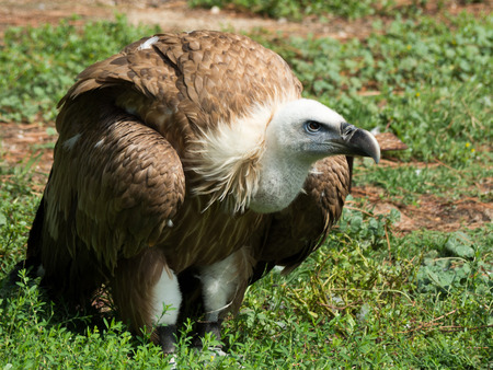 abductor: Griffon vulture