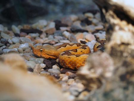 coiled snake: Snake