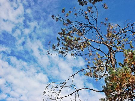 branchy: View with branchy pine and cloudy sky