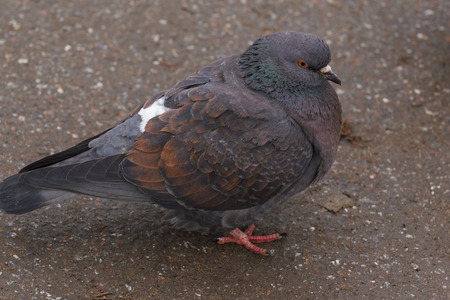 A beautiful wild pigeon shot close-up in a winter city. Stock Photo