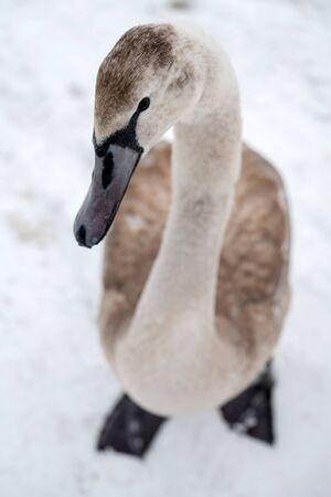 Brown swan in winter snow Archivio Fotografico