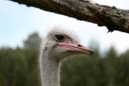 Ostrich on a farm Stockfoto