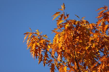 Pin oak tree in autumn