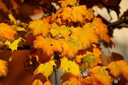 Maple trees in autumn Stock fotó