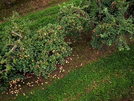 Aerial view of field of growing apple trees