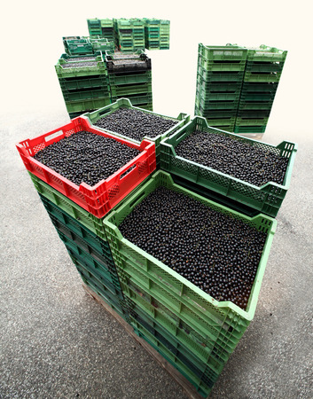 Fresh blackcurrant harvest Banco de Imagens