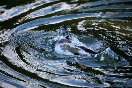 Mallard duck swimming in the lake